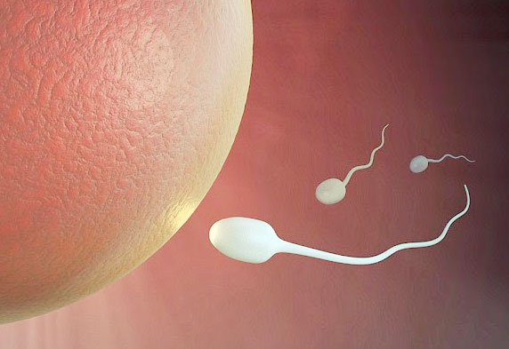 sperm and egg meet forming an embryo