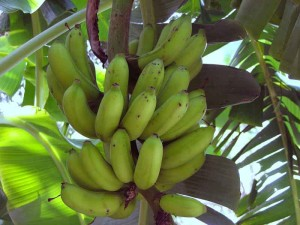 ripening bananas on tree