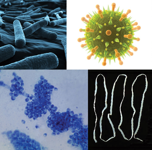 staphylococcus organisms and worms