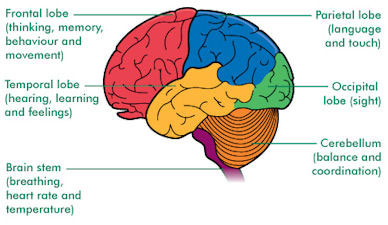 cerebrum-diagram-4-post