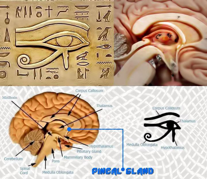 pineal-gland two